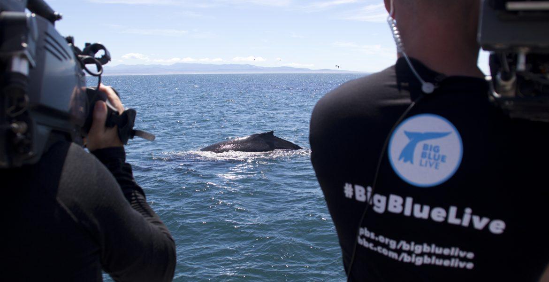 Humpback Whale on Big Blue Live